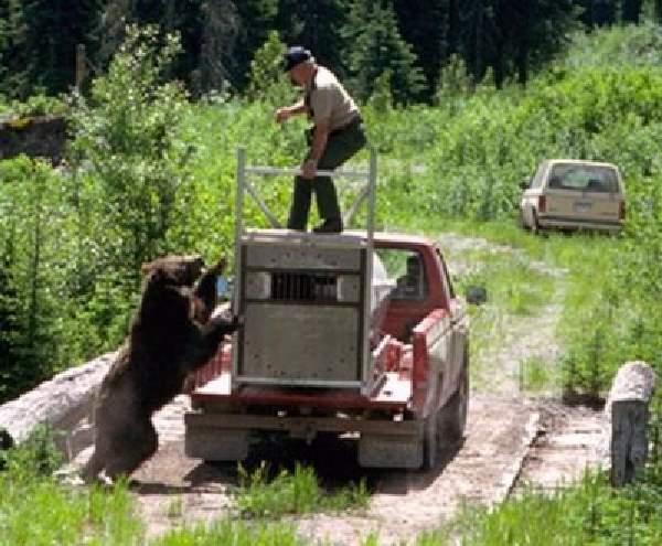 Shangrala's Wild Bear Release