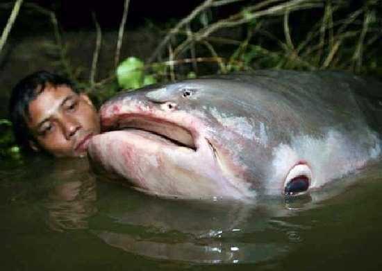 Shangrala's Giant Catfish