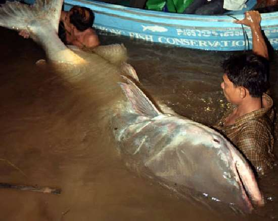 Shangrala's Giant Catfish