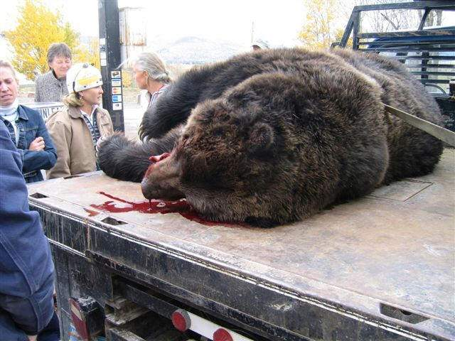 Shangrala's Grizzly Bear