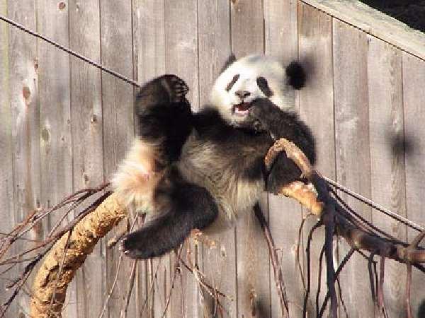 Shangrala's Panda Bear