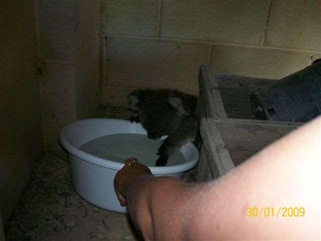 Shangrala's Koalas In A Heatwave 2