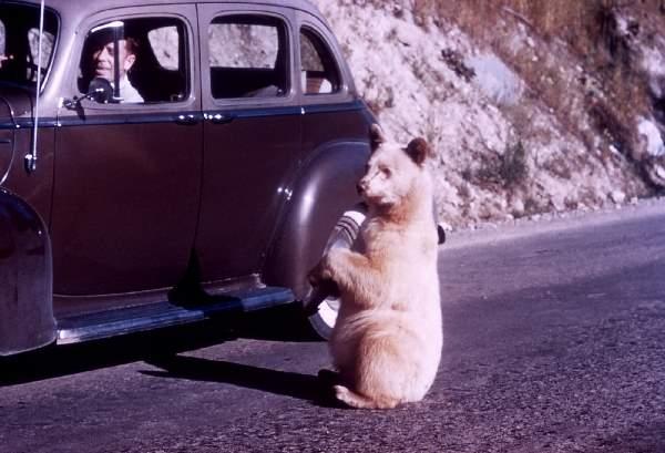 Shangrala's Albino Bear