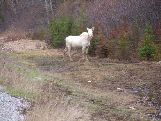 Shangrala's Albino Moose