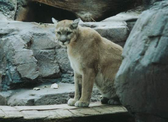 Shangrala's World Of Big Cats
