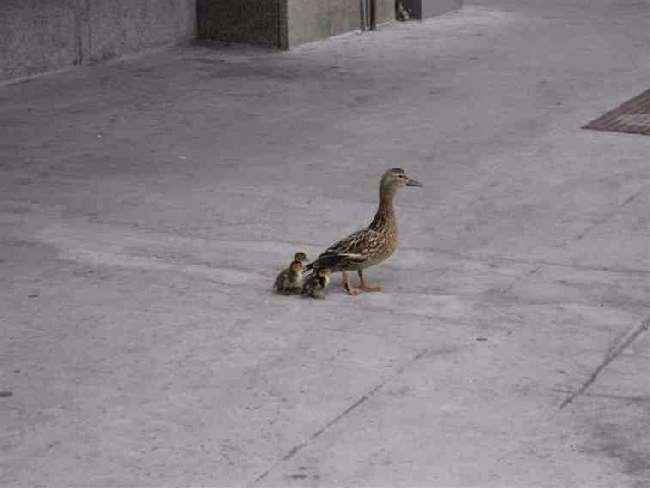 Shangrala's True Duck Tale