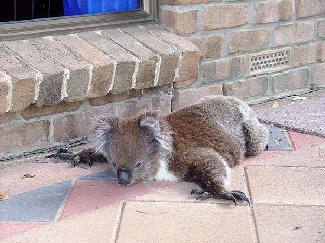 Shangrala's Koalas In A Heatwave