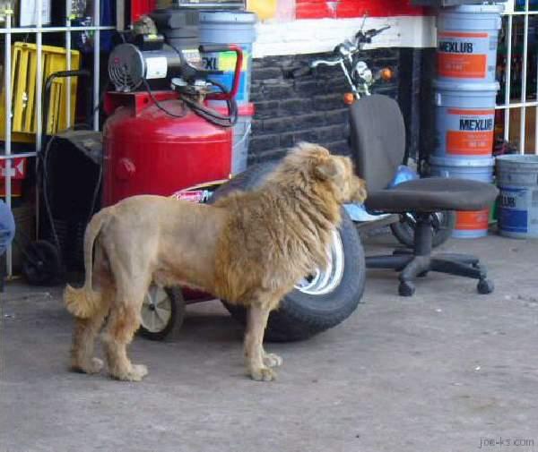 Shangrala's Mexican Lion