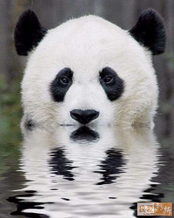 Shangrala's Panda Peek-A-Boo
