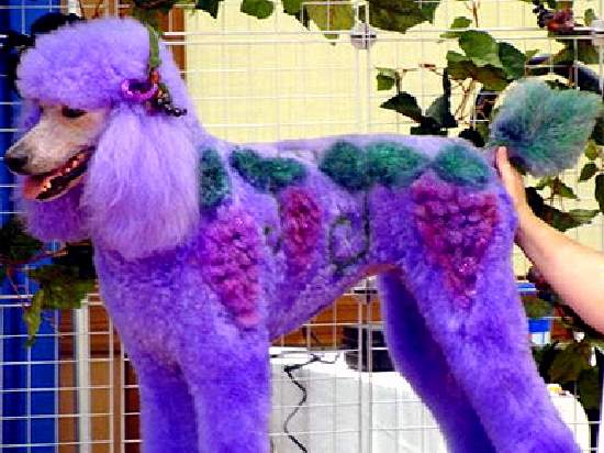 Shangrala's Extreme Poodle Makeover
