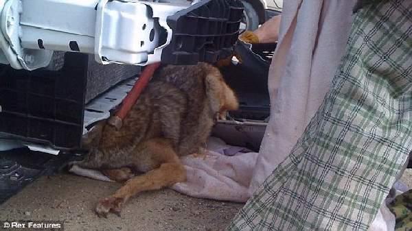Shangrala's Miracle Coyote