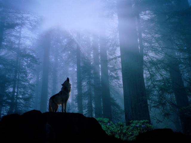 Shangrala's Endangered Wolf