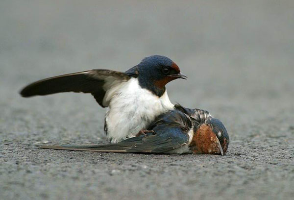 Shangrala's Tale Of Two Swallows