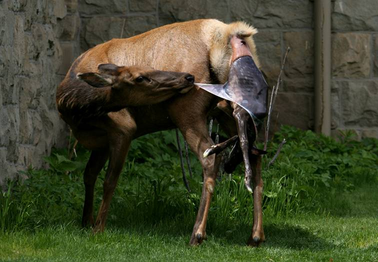 Shangrala's Birth Of An Elk Calf