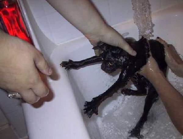 Shangrala's Taking a Cat Bath
