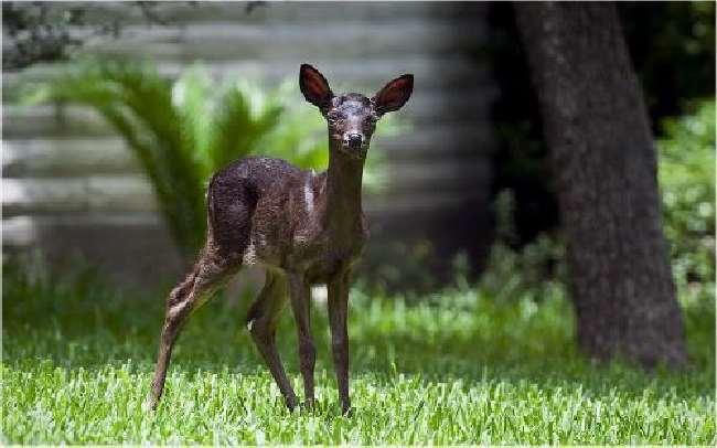 Shangrala's Black Deer Fawn