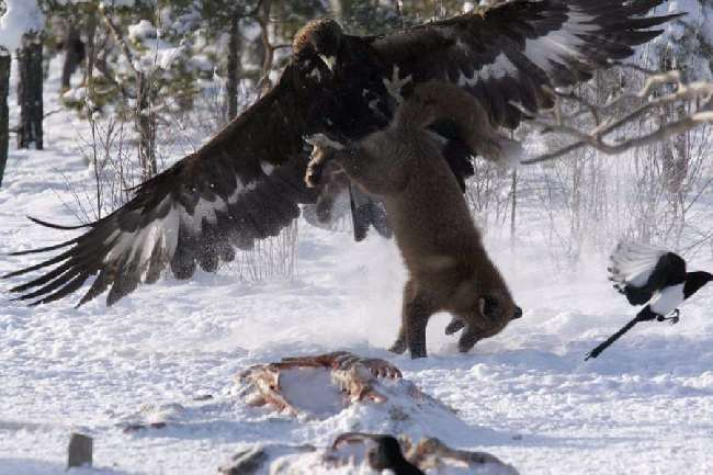 Shangrala's Eagle Vs Fox