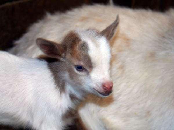 Shangrala's Nigerian Dwarf Goat