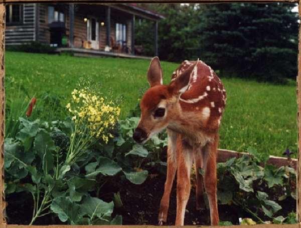 Shangrala's Hoppy The Deer
