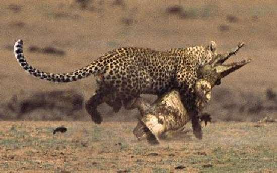 Shangrala's Leopard Vs Crocodile