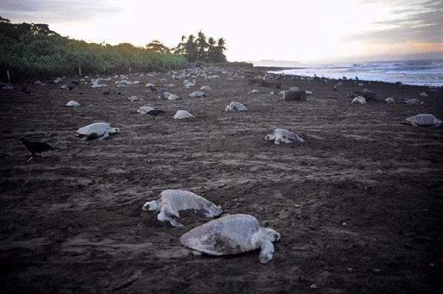 Shangrala's Ostional Sea Turtles