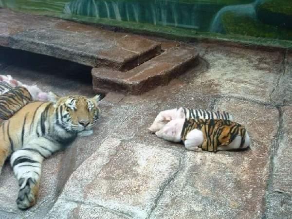 Shangrala's Thailand's Tigers