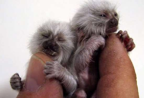 Shangrala's Finger Monkeys