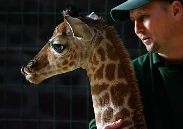 Shangrala's Margaret The Giraffe