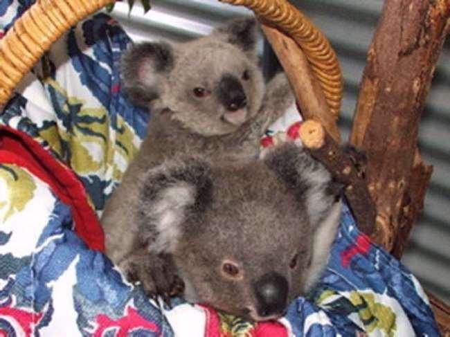 Shangrala's Koala Twins