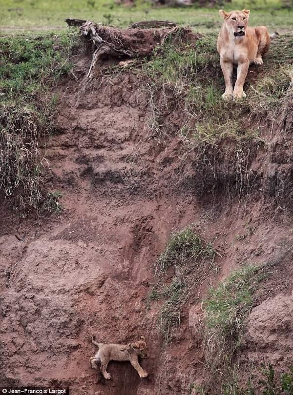 Shangrala's Lion Cub Rescue
