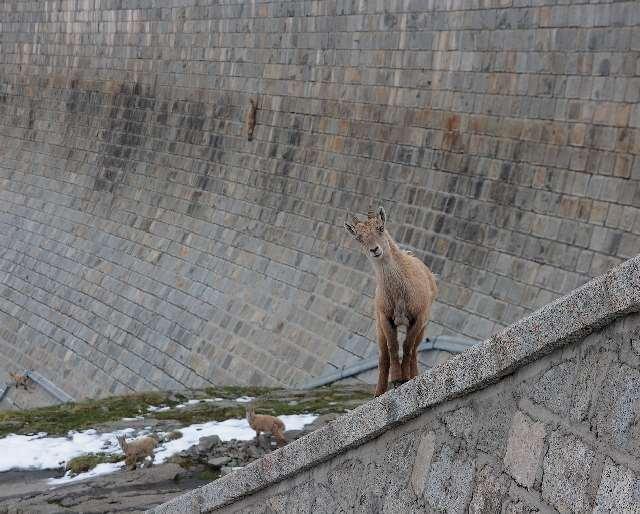 Shangrala's Mountain Goats
