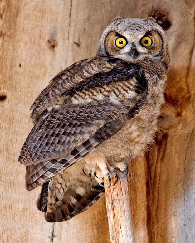 Shangrala's Great Horned Owls