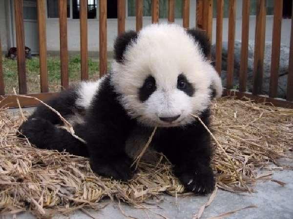 Shangrala's Pandas After The Earthquake