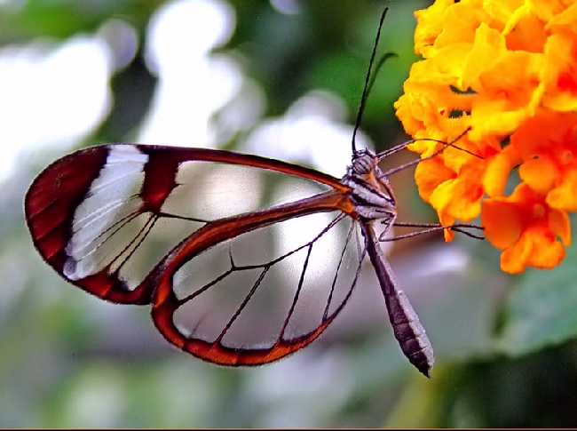 Shangrala's Transparent Butterfly