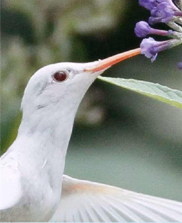 Shangrala's Albino Hummingbird