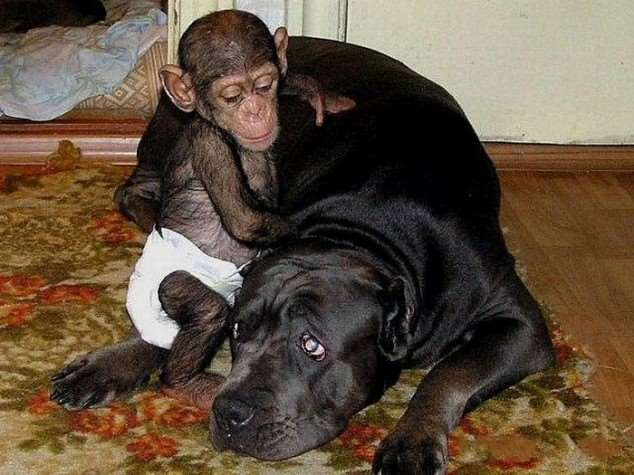 Shangrala's Adopted Chimp