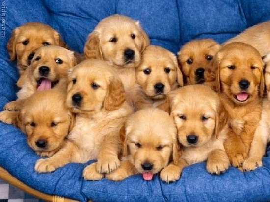 Shangrala's Why God Gave Us Puppies