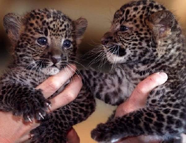 Shangrala's Tierpark Leopard Cubs