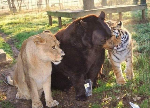 Shangrala's Friends: Lion, Tiger And Bear