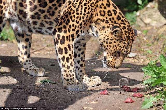 Shangrala's Mouse Vs Leopard!