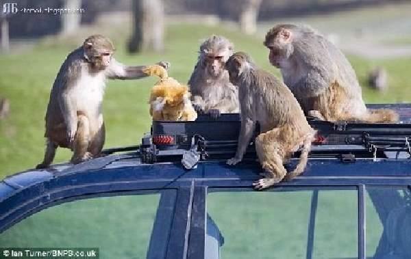 Shangrala's Longleat's Monkey Shines