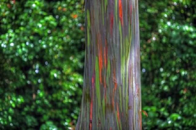 Shangrala's Rainbow Eucalyptus Tree