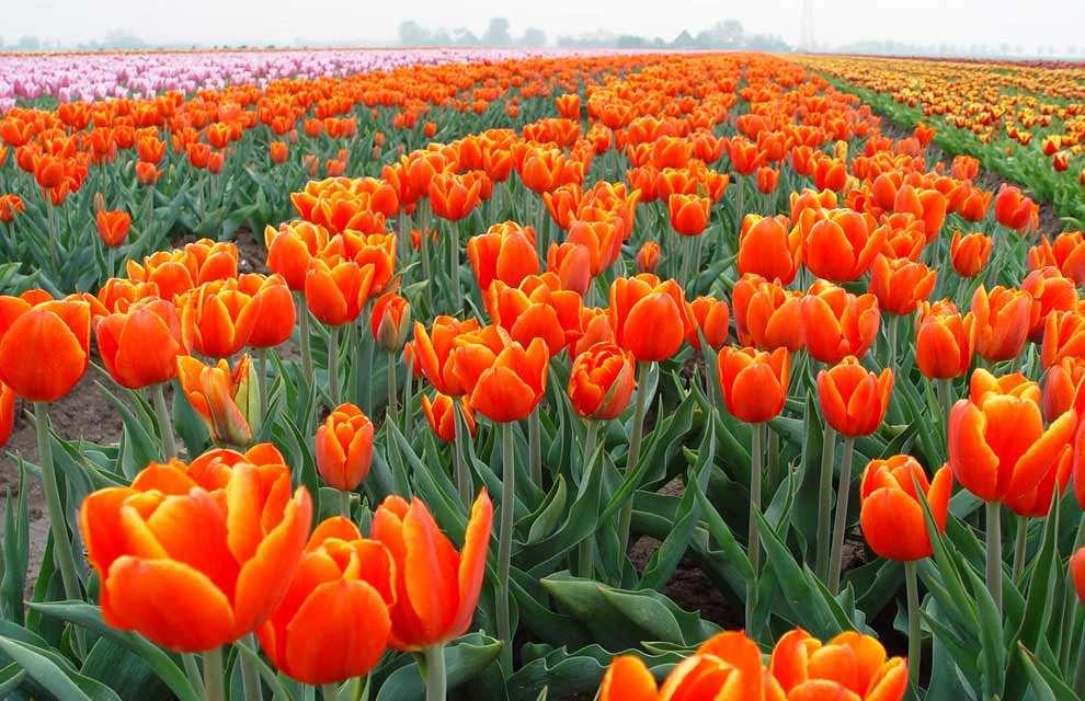 Shangrala's Spring In The Netherlands