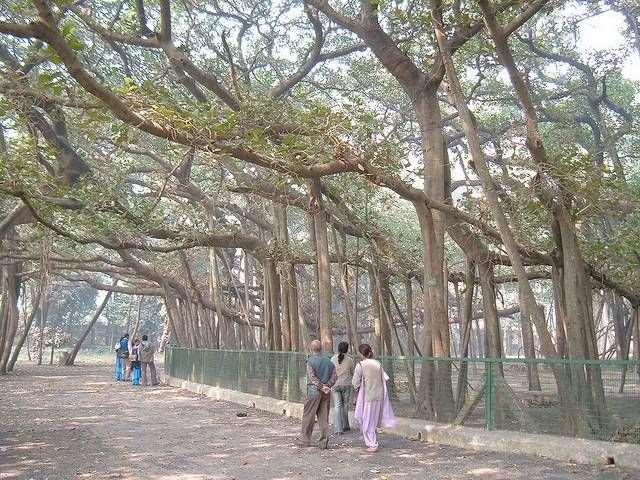 Shangrala's Great Banyan Tree