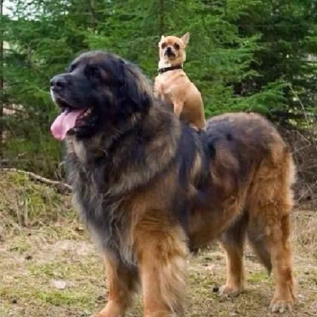 Shangrala's Big Baby Big Dogs