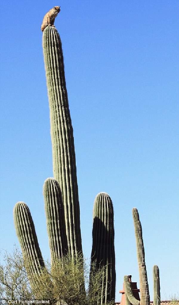 Shangrala's Bobcat On A Cactus