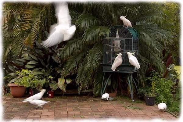 Shangrala's Australian Cockatoo Story