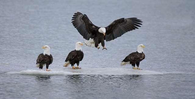 Shangrala's Feeding The Eagles