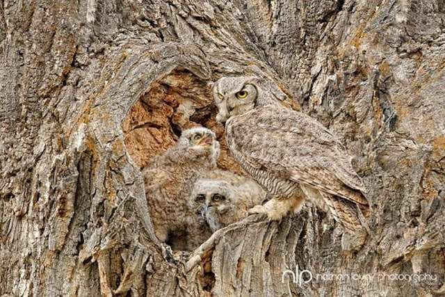 Shangrala's Owls In Camouflage