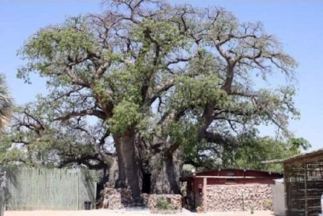 Shangrala's Big Baobab Tree